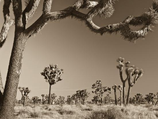 michele-falzone-california-joshua-tree-national-park-joshua-trees-usa