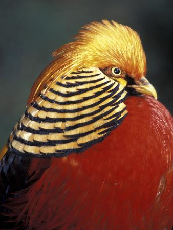 michele-westmorland-golden-pheasant-south-africa