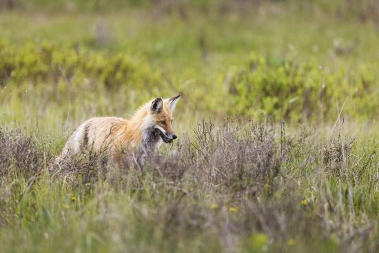mike-cavaroc-a-red-fox-searches-for-more-food-with-a-mouse-in-its-mouth-yellowstone-national-park-wyoming