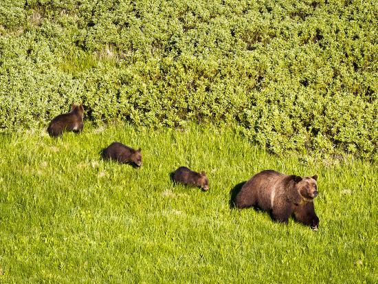 mike-cavaroc-grizzly-bear-no-399-and-cubs-in-willow-flats