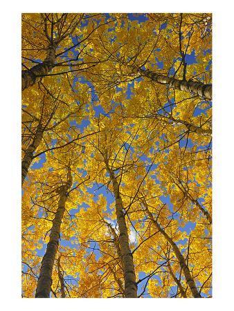 mike-grandmaison-trembling-aspens-in-autumn