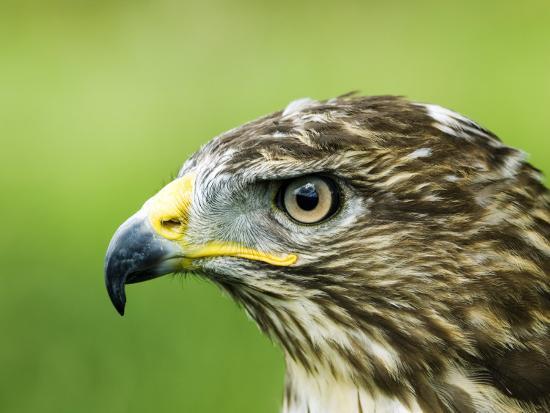 mike-powles-common-buzzard-profile-portait-uk