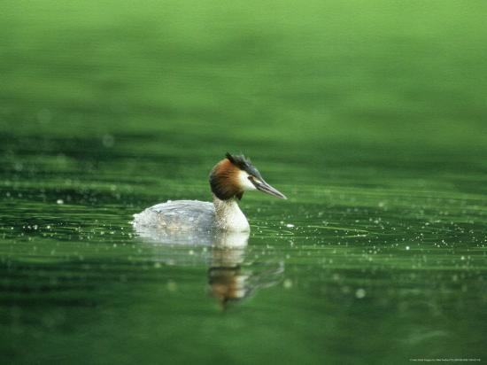 mike-powles-great-crested-grebe-swimming-gloscestershire