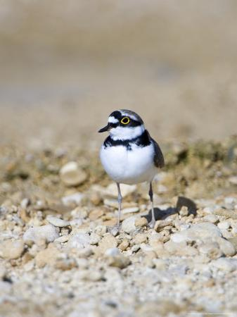mike-powles-little-ringed-plover-male-uk