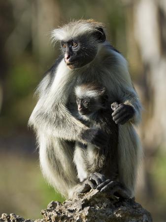 mike-powles-zanzibar-red-colobus-female-with-infant-zanzibar