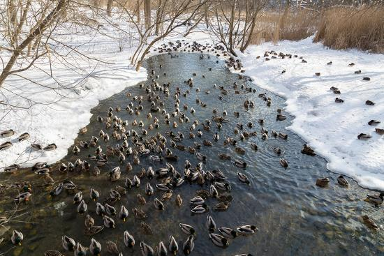 mikecphoto-large-amounts-of-ducks-in-the-winter-in-a-stream