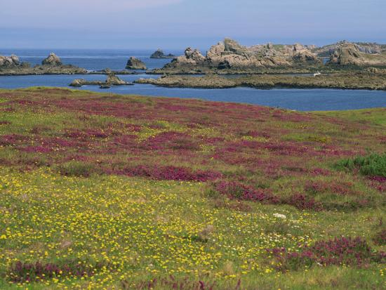 miller-john-wild-flowers-on-the-shore-and-the-rocky-coast-of-the-ile-d-ouessant-finistere-brittany-france