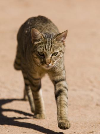milse-thorsten-african-wildcat-namibia-africa
