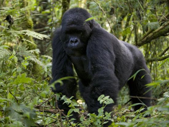 milse-thorsten-mountain-gorilla-silverback-kongo-rwanda-africa