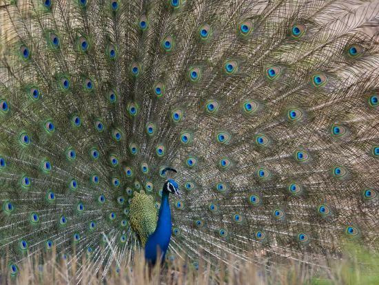 milse-thorsten-peacock-bandhavgarh-tiger-reserve-madhya-pradesh-state-india