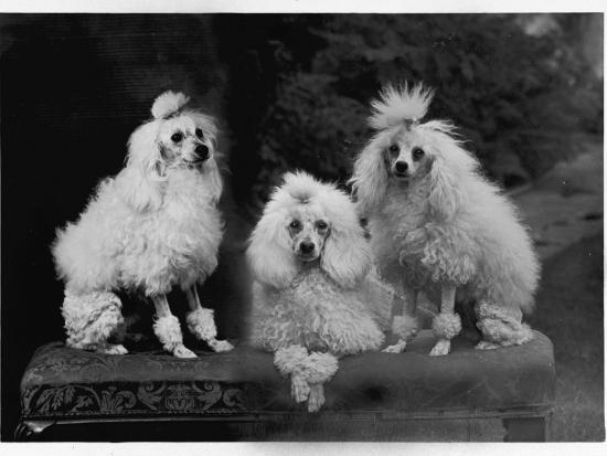 mini-poodle-trio