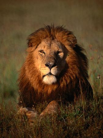 mitch-reardon-lion-masai-mara-national-reserve-rift-valley-kenya