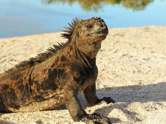 miva-stock-close-up-of-a-marine-iguana-galapagos-islands-ecuador