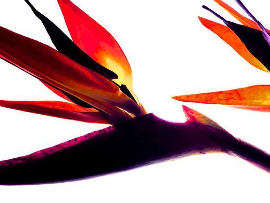 monika-burkhart-bird-of-paradise-i