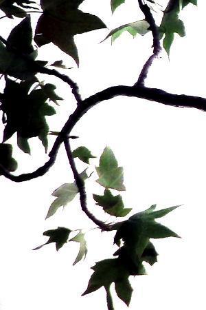 monika-burkhart-maple-branch-vi