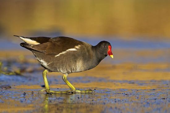 moorhen-walking-on-thin-ice-in-early-morning