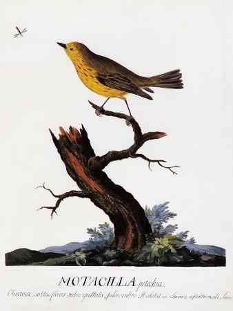 motacilla-petechia-setophaga-petechia-mangrove-warbler-watercolour