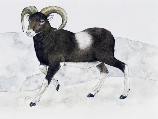 mouflon-ovis-aries-musimon-bovidae