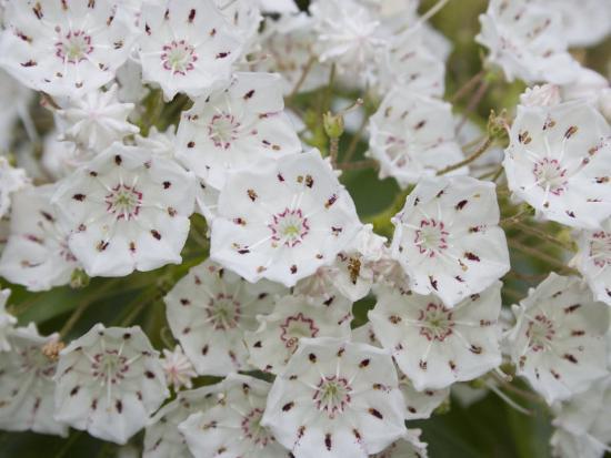 mountain-laurel-flowers-kalmia-latifolia-eastern-north-america