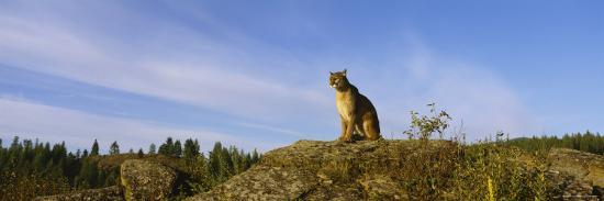 mountain-lion-sitting-on-a-rock-montana-usa