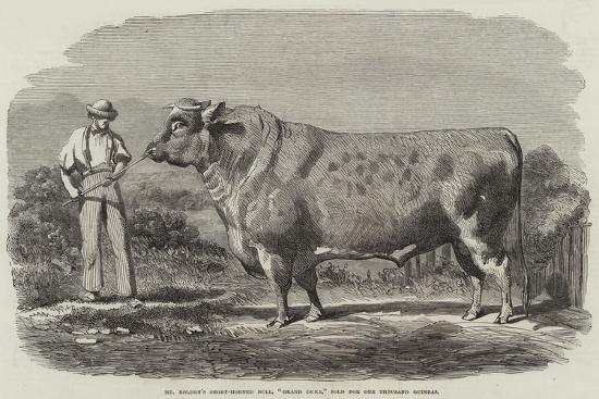 mr-bolden-s-short-horned-bull-grand-duke-sold-for-one-thousand-guineas