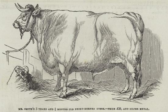 mr-smith-s-3-years-and-3-4-months-old-short-horned-steer-prize-20-and-silver-medal