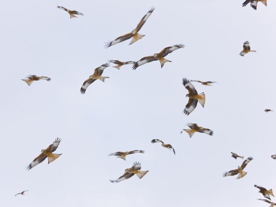 munoz-large-group-of-red-kites-milvus-milvus-in-flight-powys-rhayader-wales-uk