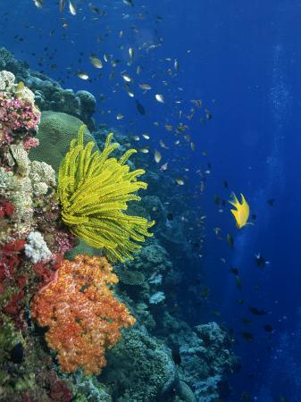 murray-louise-shallow-top-of-reef-serving-as-a-nursery-for-young-fish-sabah-malaysia-borneo-southeast-asia