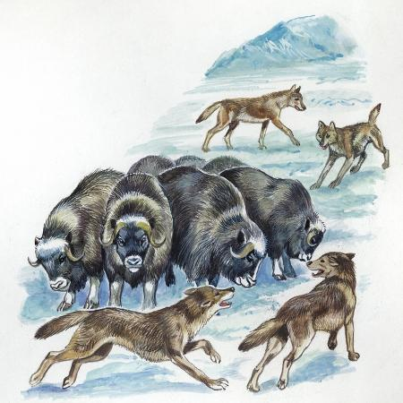musk-oxen-ovibos-moschatus-being-attacked-by-pack-of-wolves-canis-lupus