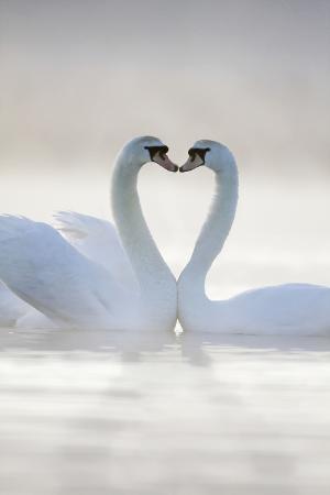 mute-swans-pair-in-courtship-behaviour