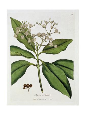 myrtle-myrtus-pimenta-published-by-dr-woodville-1790