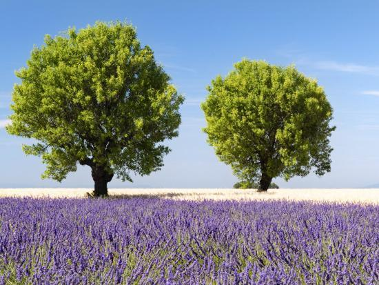 nadia-isakova-two-trees-in-a-lavender-field-provence-france