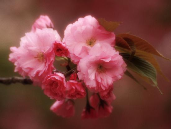 nancy-steve-ross-close-up-of-cherry-blossoms-at-osaka-cherry-blossom-festival-osaka-japan