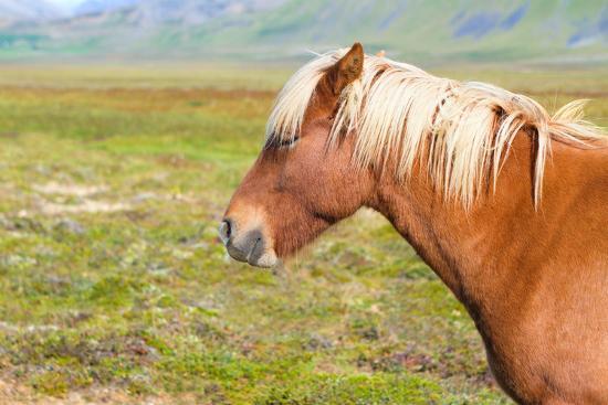 natalia-pushchina-icelandic-horse