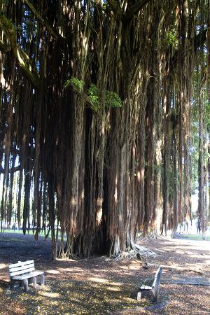 natalie-tepper-banyan-tree-liliuokalani-gardens-hilo-island-of-hawaii-big-island-hawaii-usa