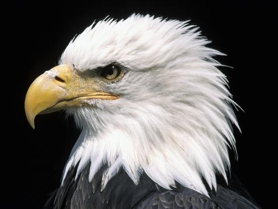 naturfoto-honal-head-of-bald-eagle