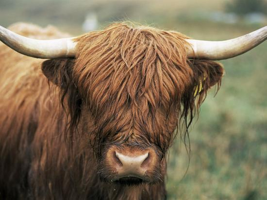 neale-clarke-highland-cow-near-elgol-isle-of-skye-highland-region-scotland-united-kingdom