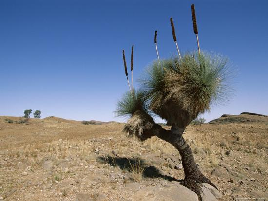 neale-clarke-yakka-plant-flinders-range-south-australia-australia