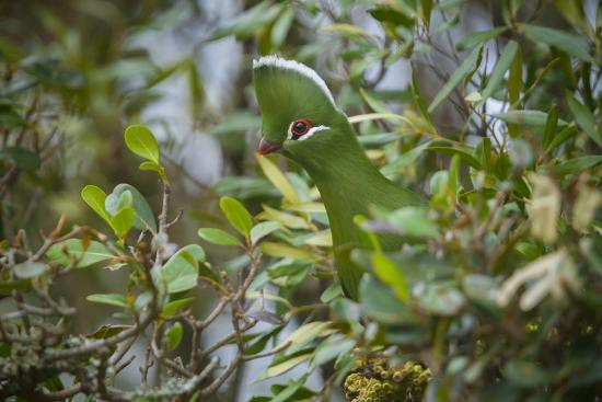 neil-aldridge-knysna-turaco-tauraco-corythaix-in-tree-kariega-game-reserve-eastern-cape-south-africa