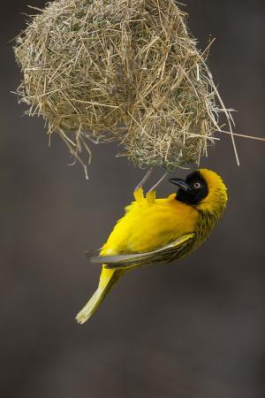 neil-aldridge-lesser-masked-weaver-ploceus-intermedius-male-at-nest-entrance