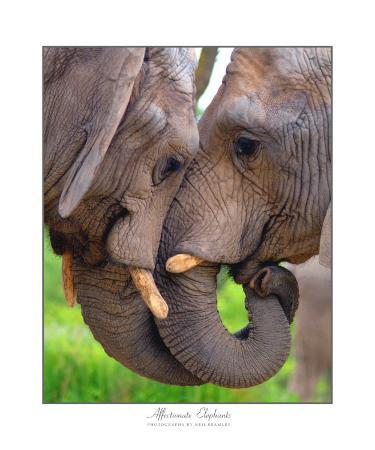neil-bramley-elephant-kiss