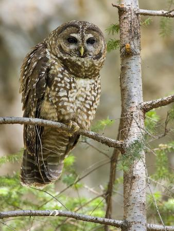 neil-losin-a-spotted-owl-strix-occidentalis-in-los-angeles-county-california