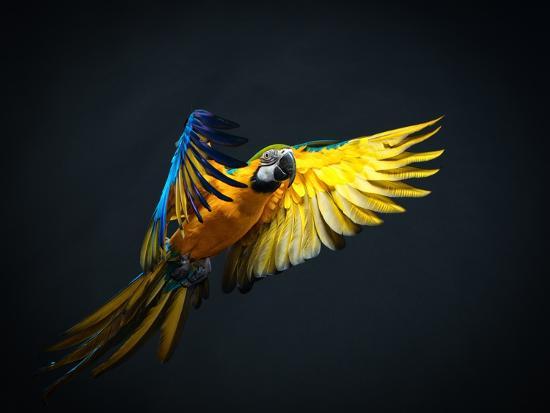 nejron-photo-colourful-flying-ara-on-a-dark-background