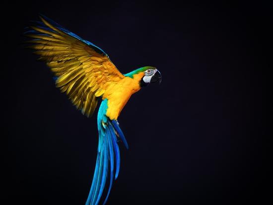 nejron-photo-flying-ara-on-a-dark-background