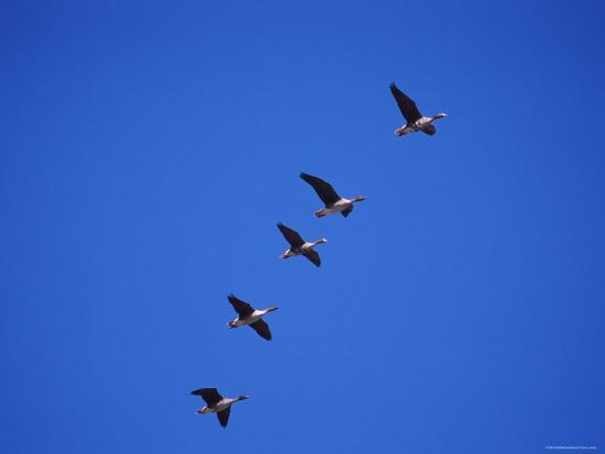 niall-benvie-five-white-fronted-geese-in-formation-flight-estonia
