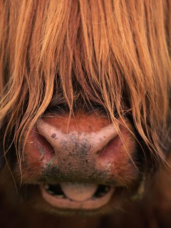 niall-benvie-highland-cattle-head-close-up-scotland