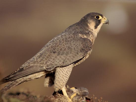 niall-benvie-peregrine-falcon-female-falco-peregrinus-subspecies-brookei-from-southern-europe