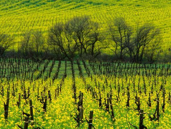 nicholas-pavloff-vineyard-covered-in-mustard-blossoms-napa-valley-usa