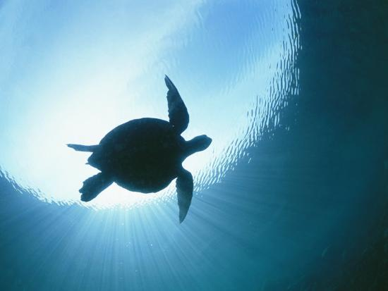 nick-caloyianis-a-silhouetted-view-of-an-endangered-loggerhead-sea-turtle