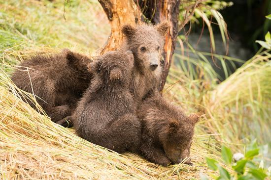 nick-dale-brown-bear-cub-nuzzling-another-beside-tree